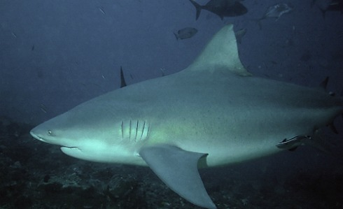 Stay at a Fiji dive resort at Beqa Island to see one of these massive sharks