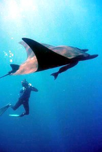 You can view manta rays whilst diving in Fiji