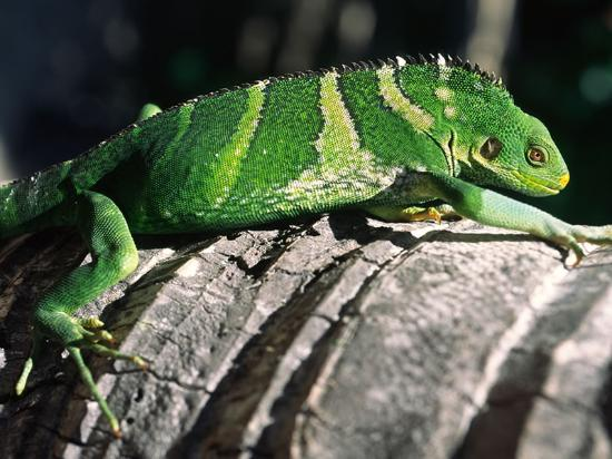 Crested Iguana on Turtle Island Fiji Islands